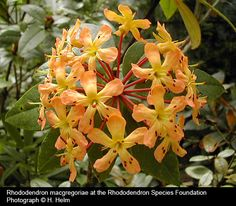 Vireya Rhododendrons...macgregoriae