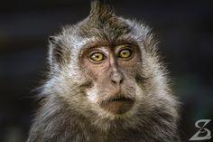 Dreamy Eyes Monkey chilling in Bali, Indonesia