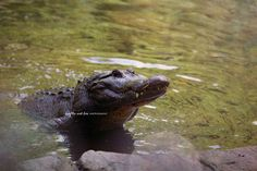 Alligator Smile Photo, Gator Photography, Florida Reptile, Swamp River Lake Coastal Decor, Home Wall Art, Green Landscape Nature Print by laughlovephoto on Etsy