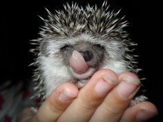 african pygmy hedgehog   Tumblr