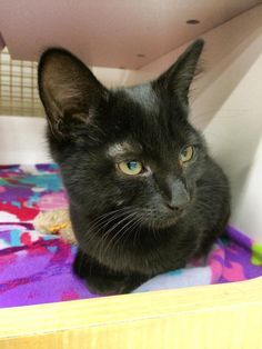 Available for adoption - Ebony is a female cat, Domestic Short Hair, located at Calling All Cats Rescues in Bayville, NJ.
