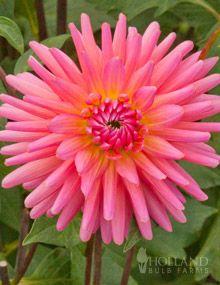 Pink Corona Dahlia