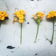Lantana shabby chic from a summer garden. Botanical photography.