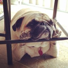 What'cha thinkin' about, little pug?