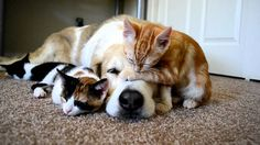 Adorable dog sleeping with cats.