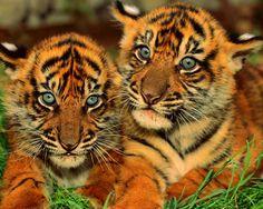 tiger-cubs-tiger-face-stripes-grassland-animals-wildlife-felidae-mammalia-predator-1280x1024.jpg (1280×1024)