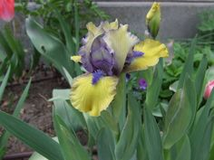 PlantFiles Pictures: Standard Dwarf Bearded Iris 'Magnetic Storm' from Iris Society sale 2015, maybe in the front porch bed?