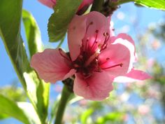 Bolivia, Cochabamba  Flor de Durazno