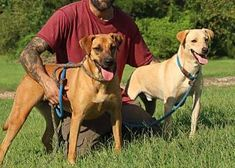 Jovy And Zeke Labrador Retriever For Adoption In Allentown Pennsylvania