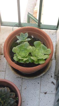 Altre piante grasse accanto all'aloe vera.  Se non lo hai ancora fatto Iscriviti alla pagina Forever Living Pozzuoli https://www.facebook.com/flppozzuoli e seguici sul nostro blog/sito di ecommerce http://www.succoaloevera.it/malobo62