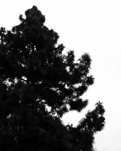 Winter Pine Silhouette  A large pine silhouetted against a an overcast sky yesterday here in the neighborhood.  I think this photo and the earlier picture of the Island Jay have good potential for cards and some other products especially if I turn them into vector graphics that can be resized and used as knockout color.  #pine #tree #garden #nature #outdoors #silhouette #highcontrast #blackandwhite #blackandwhitephotography #bnw_drama #bnw_legit #bnw_captures #gf_bnw #bnwmaster…