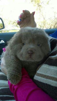 Bear coat shar pei pup