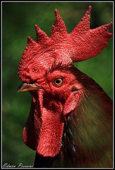 Foto galería de edwinpieroni, imagen excelente Gallo Belgica. Rhode Island Red, Chicken Pictures, Beautiful Chickens, Chicken Art, Drawing Tutorials, Farm Animals, Painting & Drawing, Feathers, Doodle