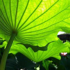 Lotus Leaf (by yubomojao)