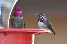 Calliope and Anna's Male Hummingbirds at the Feeder | The Birders ...