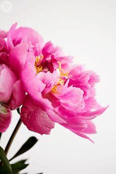 Pink peonies my favorite My Flower, Fresh Flowers, Pink Flowers, Beautiful Flowers, Bright Flowers, Peony Flower, Flower Petals, Deco Floral, Pink Peonies