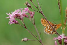INSECTES LEPIDOPTERES - Papillons - Le Damier de la succise (Euphydryas aurinia) sur Lychnis. Photographie : Jean-Michel Mathé SFO-PCV