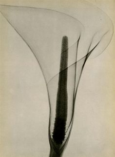 Dain L Tasker  X-Ray of a Lily  1936