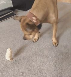 Pit bull vs baby chick, LOL!