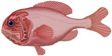 Orange Roughy - consumers should strongly avoid eating the species. Commonly sold as 'deep sea perch'. Orange roughy is slow-growing and late to mature, resulting in a very low resilience to over-fishing. (Because of their long life-spans they also collect a lot of heavy metals from pollution.)