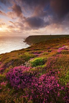 Heather on the Hill in Scotland