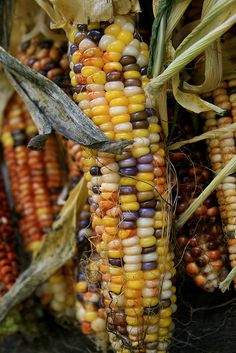 Indian Corn by Jacob L Barr., via Flickr
