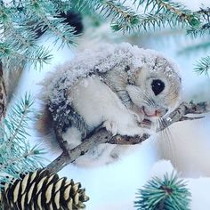 Japanese Dwarf Flying Squirrel ~ these little guys are so cute! Nature Animals, Animals And Pets, Funny Animals, Nature Dog, Japanese Dwarf Flying Squirrel, Tier Fotos, Cute Little Animals, Cute Animal Pictures, Cute Creatures