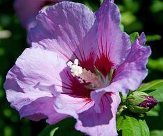 Stokroos 'Lila' (Alcea rosea)