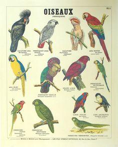 Les planches anciennes - Deyrolle - Oiseaux - Perroquets