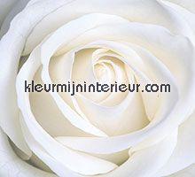 witte roos fotobehang Spits