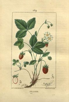 wild strawberry | Tumblr