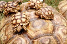 A few of the Tortoises playing on a giant Tortoise, in Karachi zoo, in Pakistan.