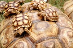 Sulcata Tortoises... A few of the Tortoises playing on a giant Tortoise, in Karachi zoo, in Pakistan.