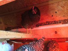 Turn On The Red Light..Chickens