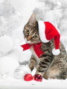 Christmas Dogs and Cats Photos