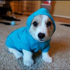 Corgnelius trying on his new outfit.