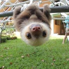 The sub is filled with baby cats dogs donkeys and hyenas so heres a baby sloth to make you smile. via aww on April 12 2018 at Cute Baby Sloths, Cute Sloth, Cute Baby Animals, Animals And Pets, Funny Animals, Funny Sloth, Jungle Animals, Animals Kissing, Farm Animals
