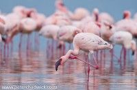 Lesser Flamingo Scratching | Peter Chadwick Photography