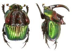 Phanaeus tridens moroni Arnaud, 2001 (male) Family: Scarabaeidae Size: 15-20 mm Location: Mexico, Vera Cruz, 1983 det. U.Schmidt, 2006 Photo: U. Schmidt, 2006 . https://www.kaefer-der-welt.de/phanaeus_tridens_moroni_3.htm