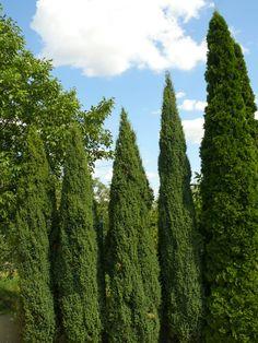 Ezeket is ültesd tuja helyett | Gardenista Cactus Plants, Gardening, Autumn, Fall Season, Cacti, Lawn And Garden, Cactus, Fall, Horticulture