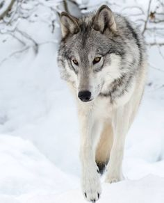 Wolf, Haines Jan 2013 by Vic Walker.