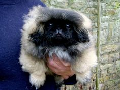 TeghaKennel - Pekingese puppies for sale : Tegha Kennel: Buy and Sell Pets