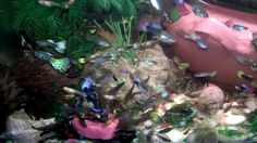 How to get beautiful collection of guppies fish All about FEEDING