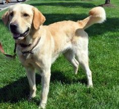 ooper is a golden retriever-lab mix who is between 1 and 2 years old.  He was given up because he was too energetic for a mother with young children.