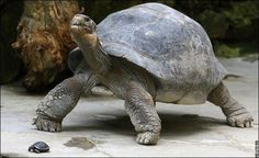 """conflictingheart: """" Galapagos Giant Tortoise Has Baby at 70! Becoming a mother at 70-years-old doesn't present a problem - for a Galapagos giant tortoise. Nigrita produced her baby a few weeks ago at Zurich Zoo in Switzerland which has been her home..."""