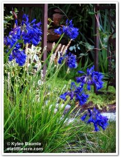 "Our Little Acre: ""Yes, Virginia. There IS a Hardy Agapanthus!"""