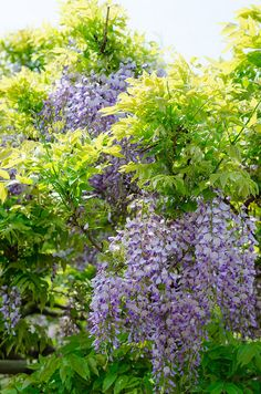 Spring flower by hy1ttu on Flickr. Trees Beautiful, Wisteria, Spring Flowers, Vivid Colors, Vines, Liberty, Herbs, Plants, Freedom