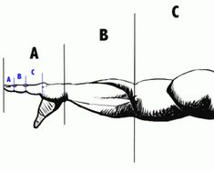 golden ratio body proportions - Nothing like adding a little math and science to the workout