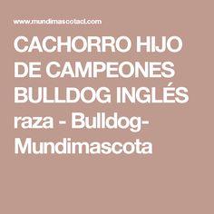CACHORRO HIJO DE CAMPEONES BULLDOG INGLÉS raza - Bulldog- Mundimascota