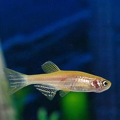 Gold Zebra Danio - The zebra fish is a small and friendly fish. It is very hardy and adaptable which makes it an ideal beginner fish. The zebra fish is a very popular fish and you can find it in just about any aquarium shop around the world.